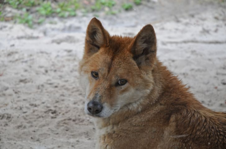 Dingoes Facts